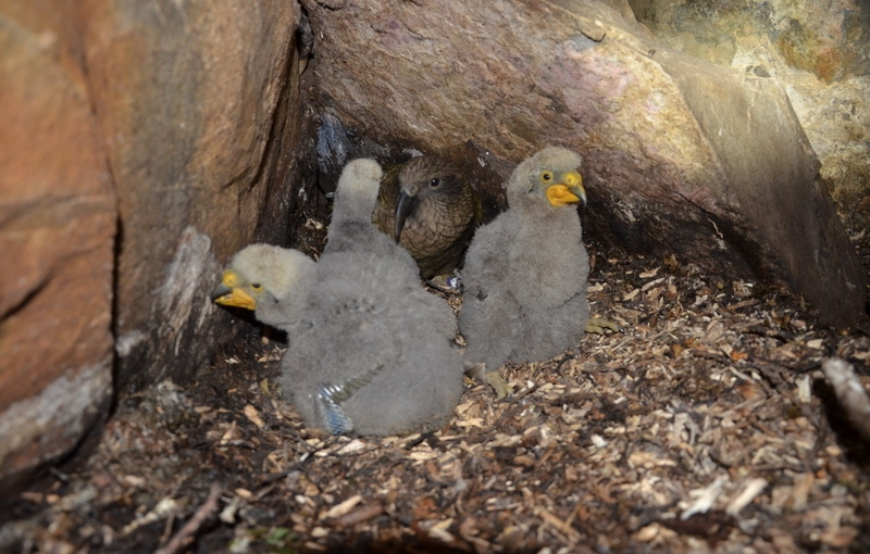 Kea Protection in Nelson Lakes