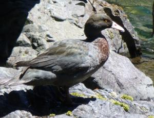 Ruahines_duck_NobbyRobson_300W