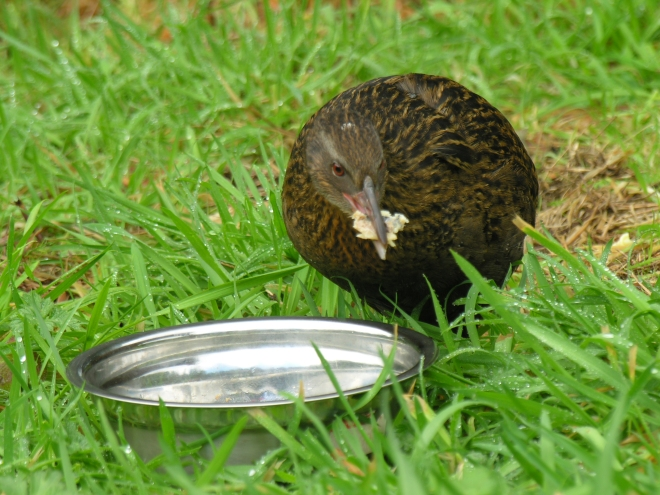 Weka feeding outside of aviary