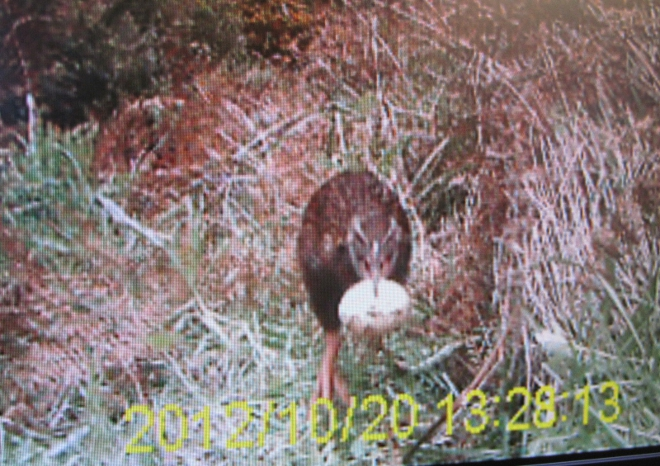 Weka taking an egg_1