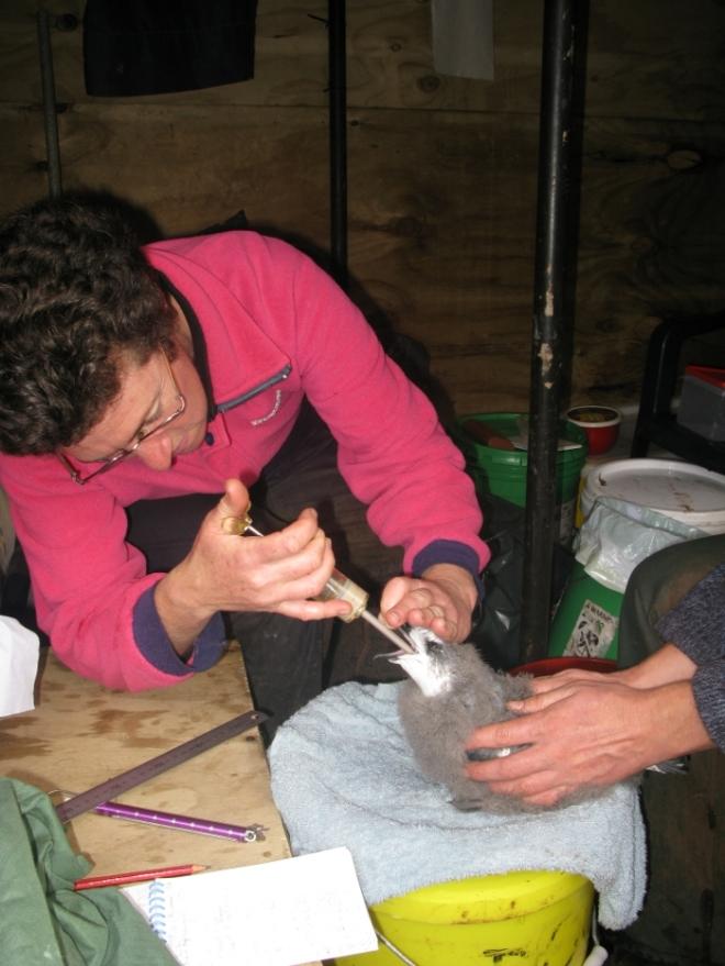 Chickfeeding
